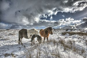 Dartmoor ponies in the snow