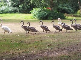 Swan family at Back of Beyond