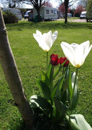 Briarfields-Tranquil-Parks-Adults-Only-Holidays-Tulips