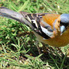 BoB-Visitor-pic-goldfinch