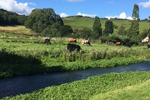 Cows by the Beck at Ellerburn near Overbrook