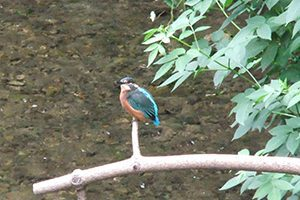 A kingfisher by the beck at Overbrook Caravan Park