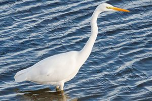 RMooney-great_egret-300x200-300x200
