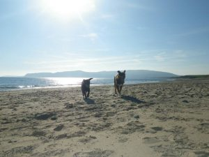 Dogs on the beach near The Willows