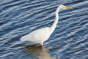 One of 7 Great White Egrets at Chew Valley Lake